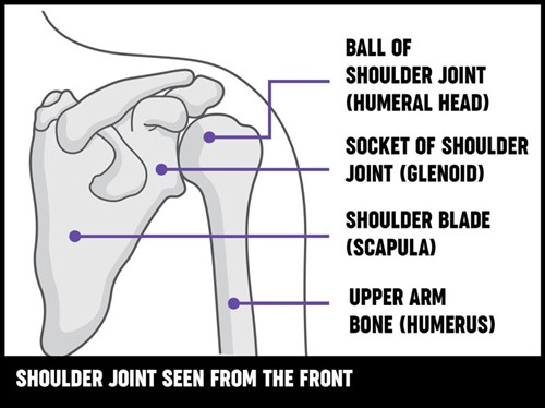 An illustration of the shoulder joint from the front, showing the the different bones and how the joint works.