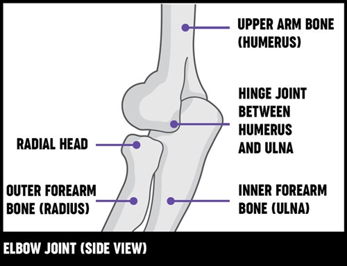 An illustration of the elbow jont from the side, showing the different bones which make the elbow work.