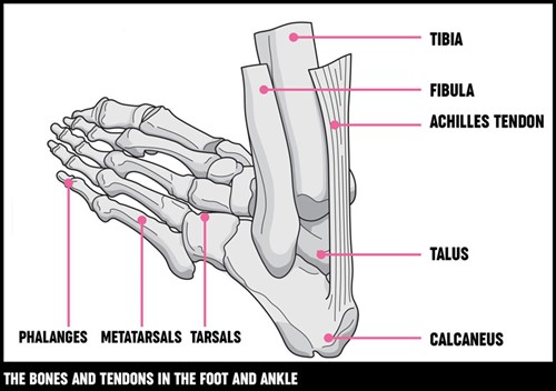 A diagram showing the bones and tendons in the foot and ankle.