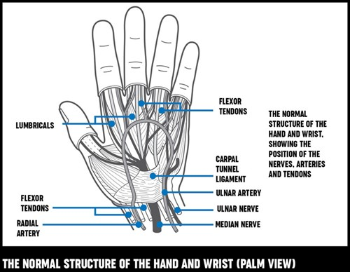 A diagram shoing the normal structure of the hannds and wrist, showing the position of the nerves, arteries and tendons.