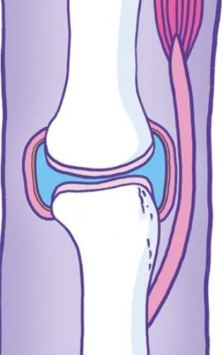 Cross-sectional diagram of a synovial joint and it's periarticular structures