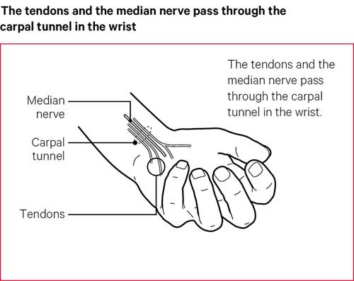 The tendons and the median nerve pass through the carpal tunnel in the wrist.