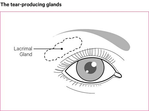 The tear-producing glands