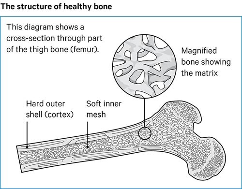 A diagram showing a cross-section through part of the thigh bone.